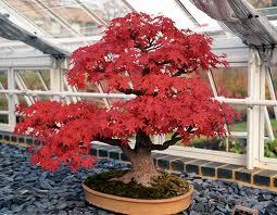 jardin-oriental-bonsai-rojo-flordeplanta