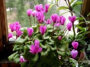 тенелюбивые комнатные цветы название и фото